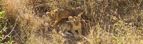 lainie-lion-cubs