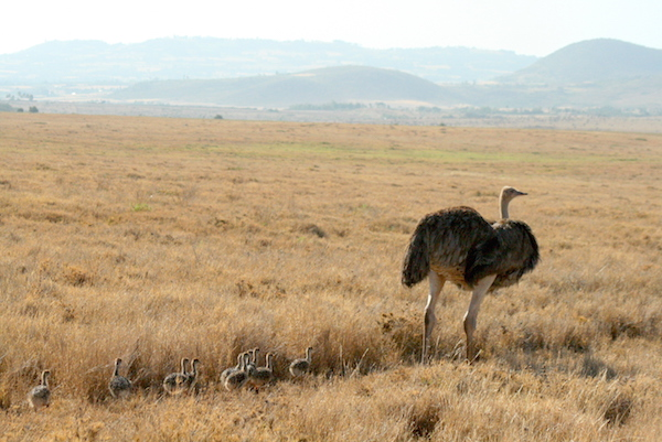 Ostrich in East Africa by Marsha Carroll
