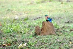 Indian Roller in Pench