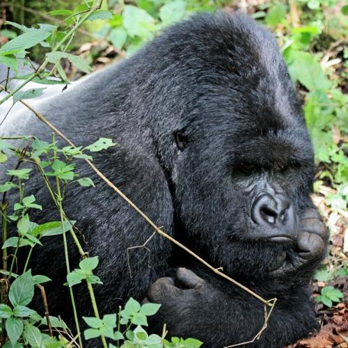PNV Mountain Silverback Gorilla in Rwanda by Rose Loggi