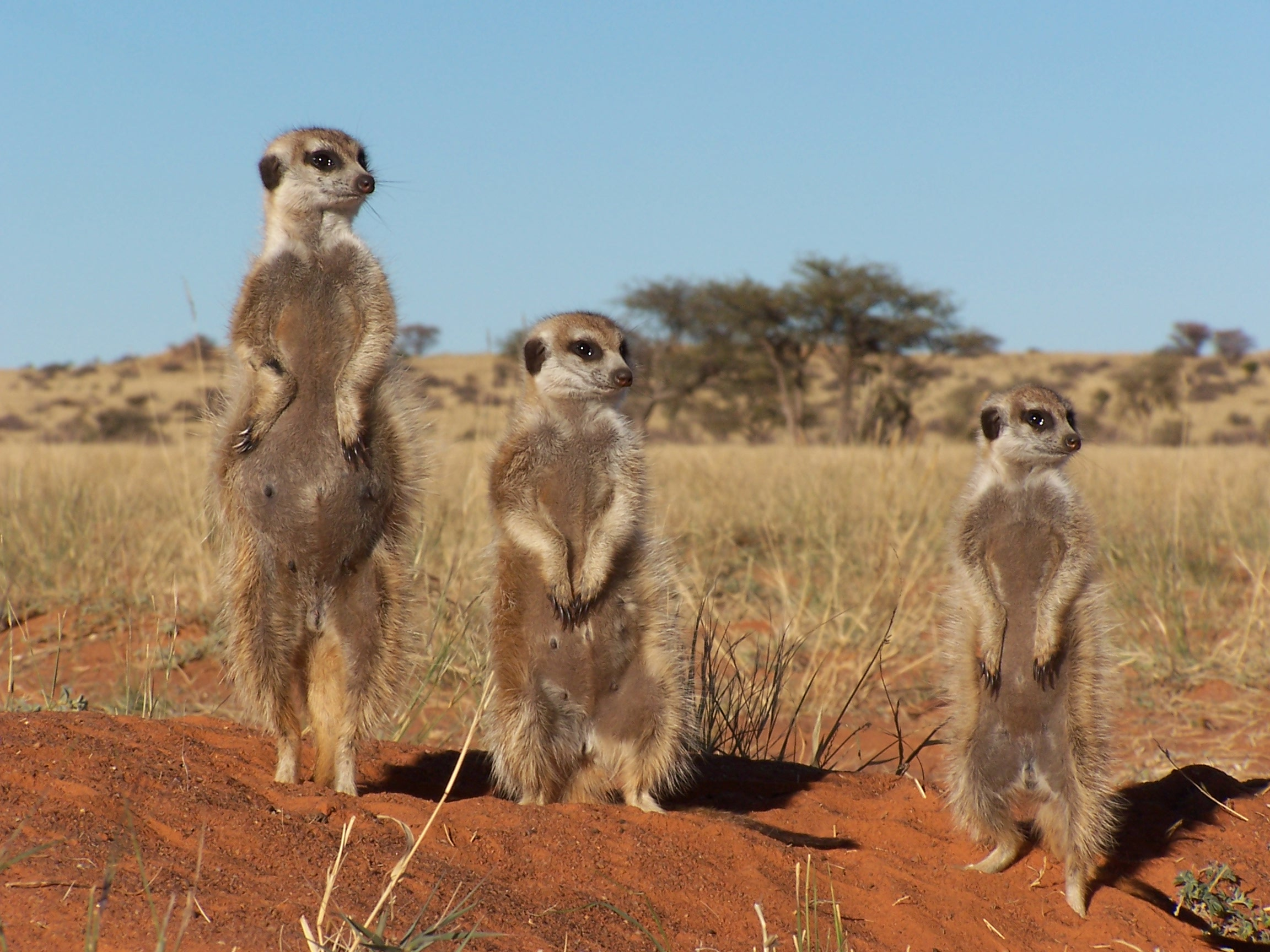 Meerkats in the Tswalu Kalahari Reserve, courtesy Tswalu Kalahari