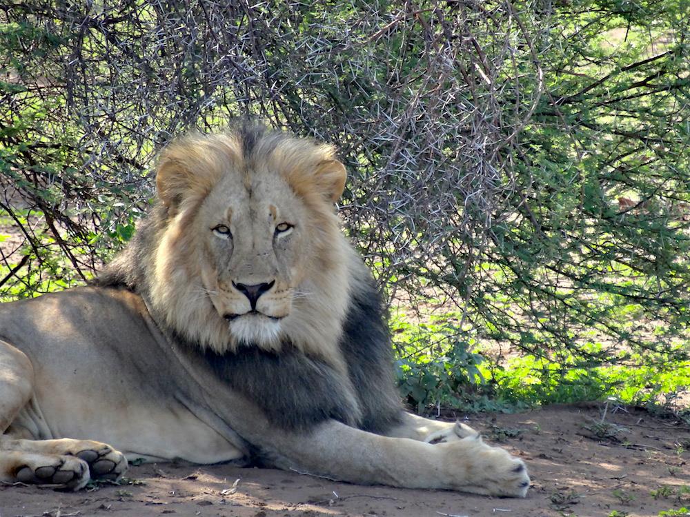 Lion at Mashatu