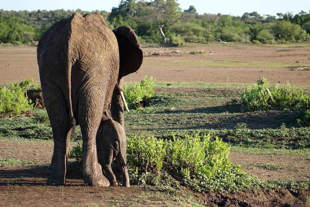 Elephants at Mashatu Camp