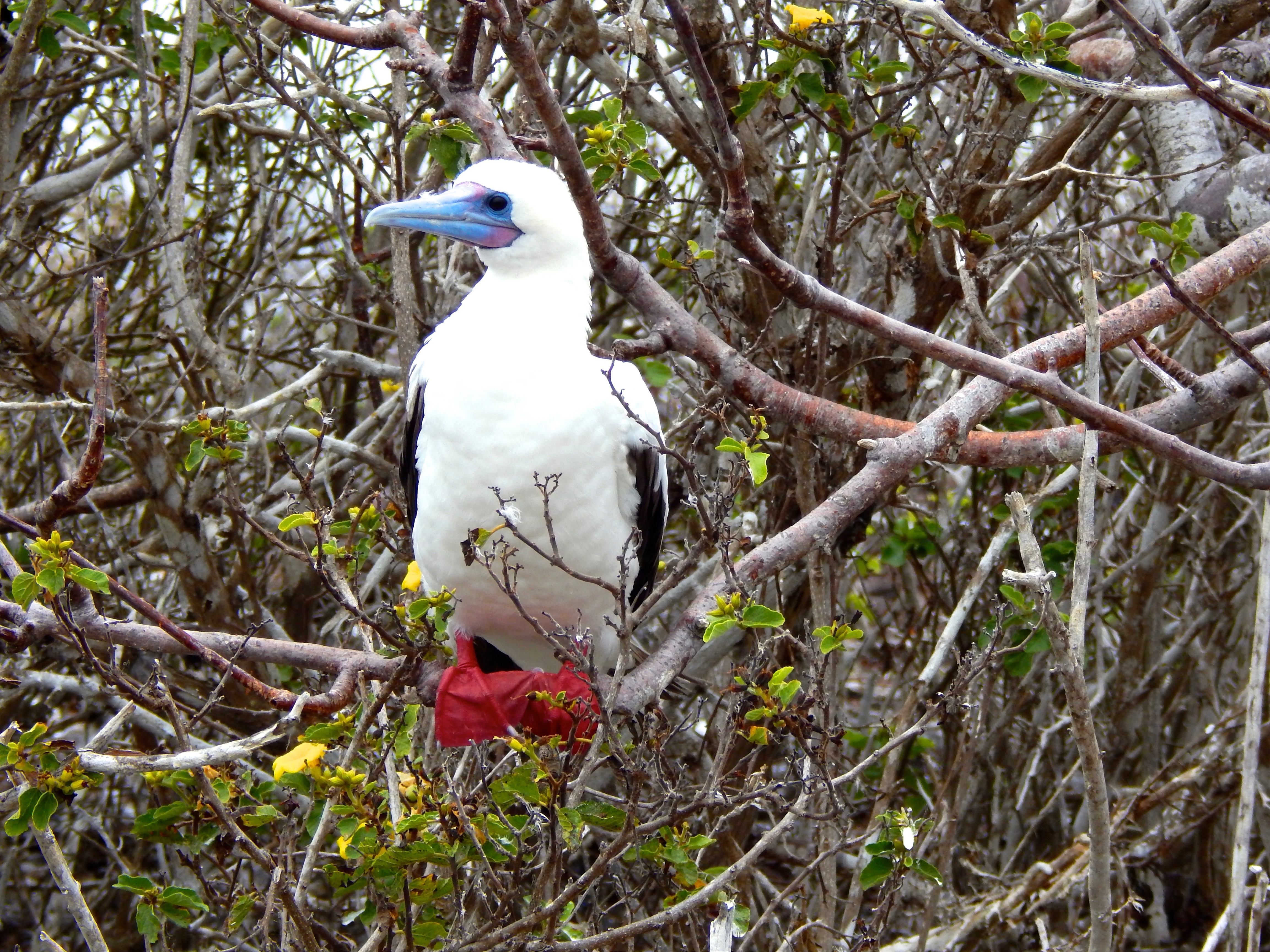Red Footed Booby