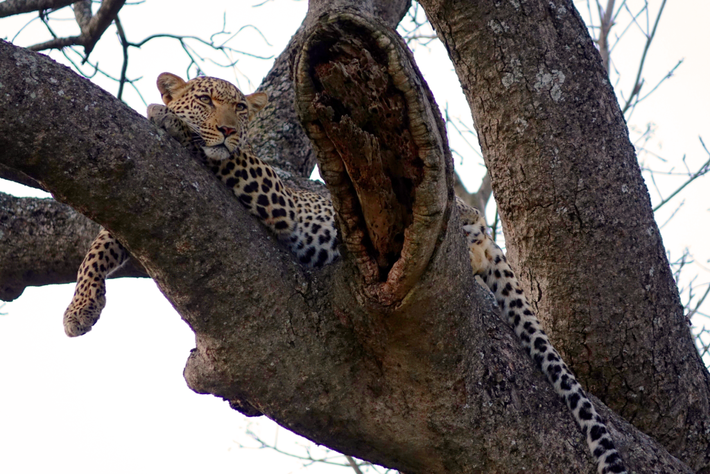 A Leopard on Safari