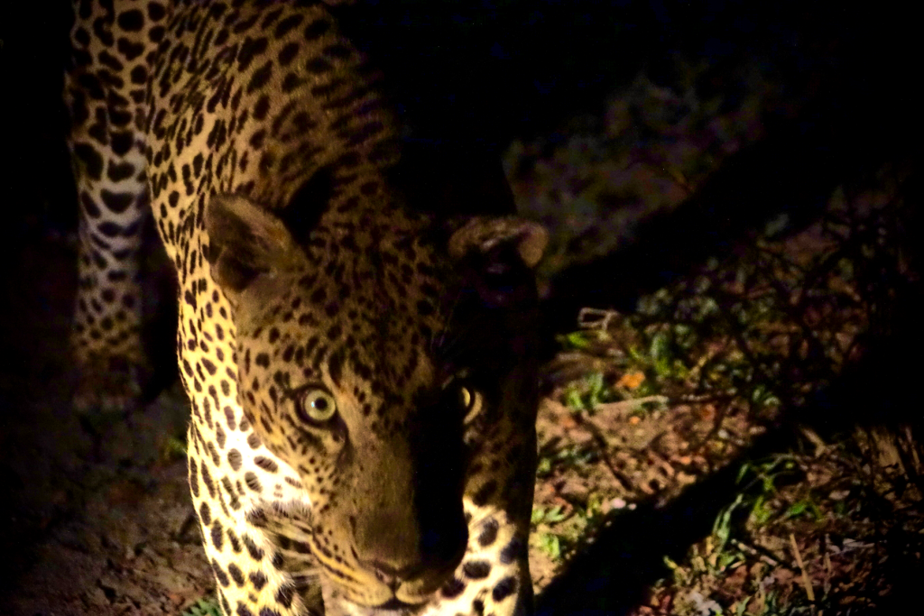 A Male Leopard at Night
