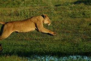 Lion_Marsha_Botswana