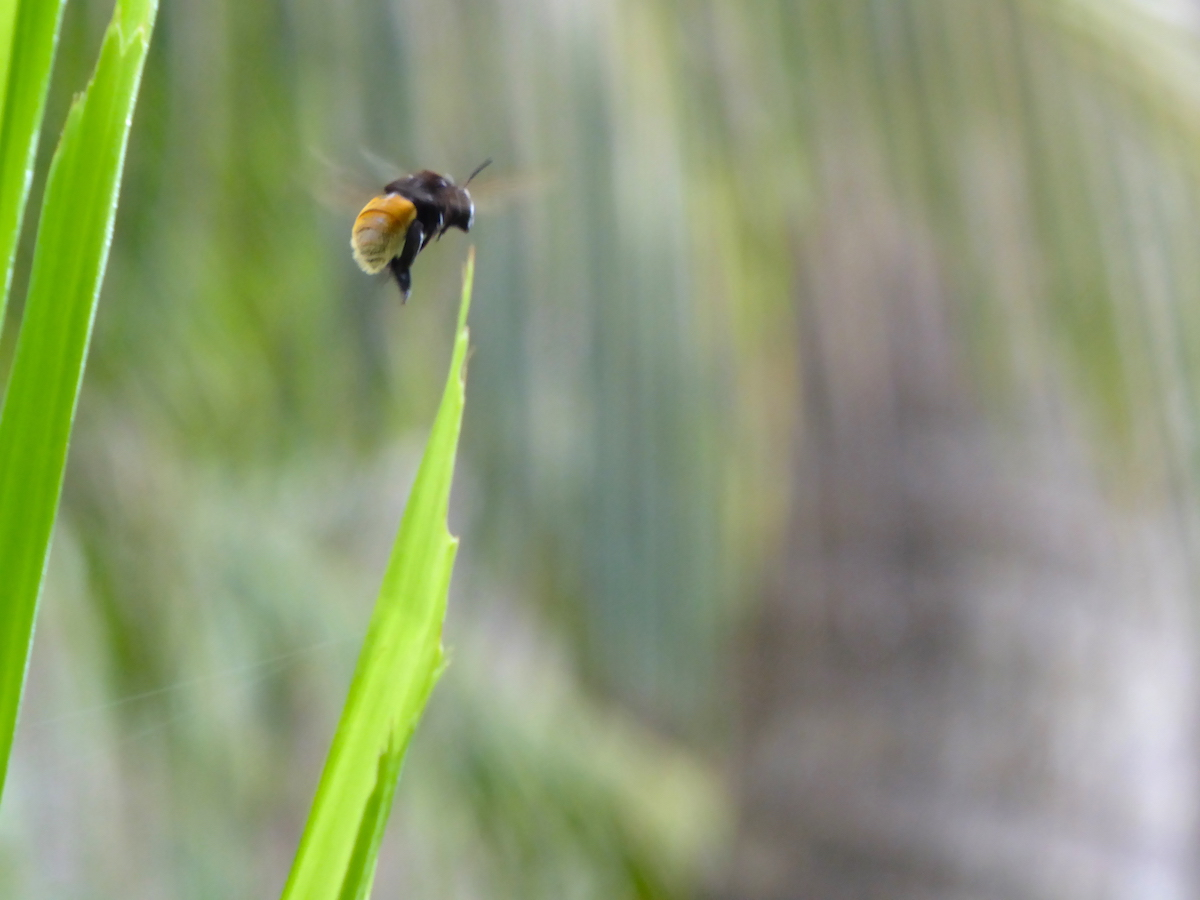 Jennifer Gillmore - A Costa Rican bumblebee