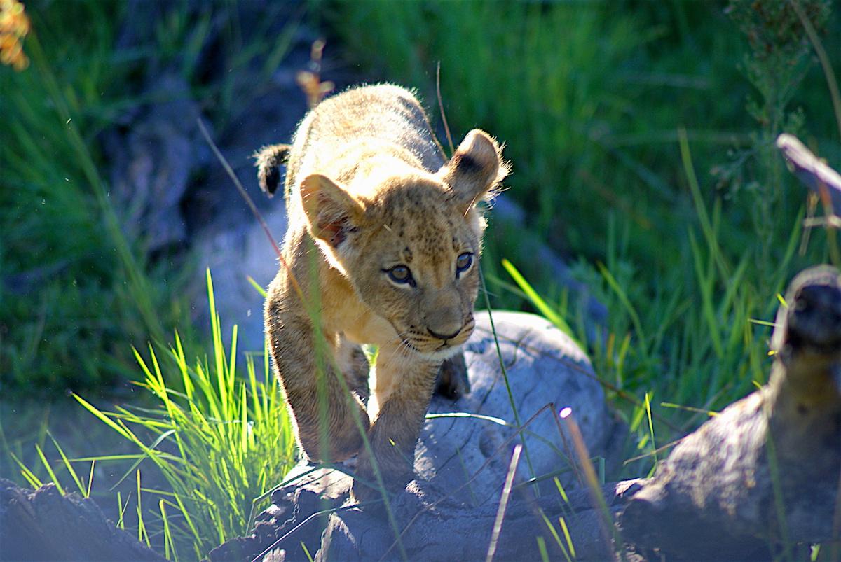 Ken Marshall - A lion cub in Botswana