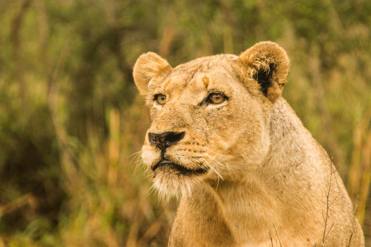 Marguerite Smit - A lioness in South Africa