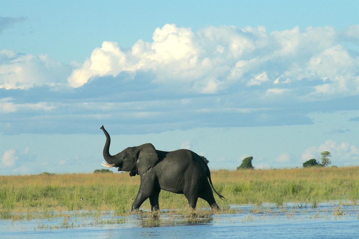 Marsha Carroll - An elephant along the Chobe River in Botswana