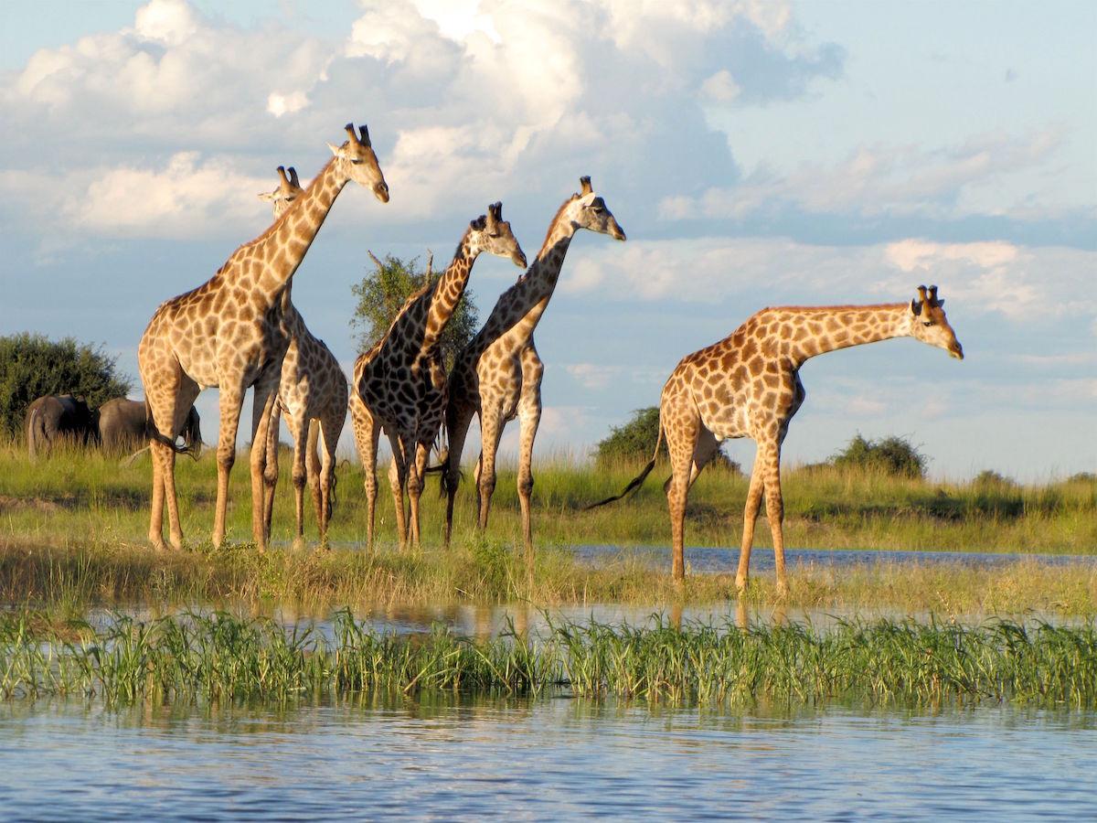 Rose Loggi - Giraffes in Botswana