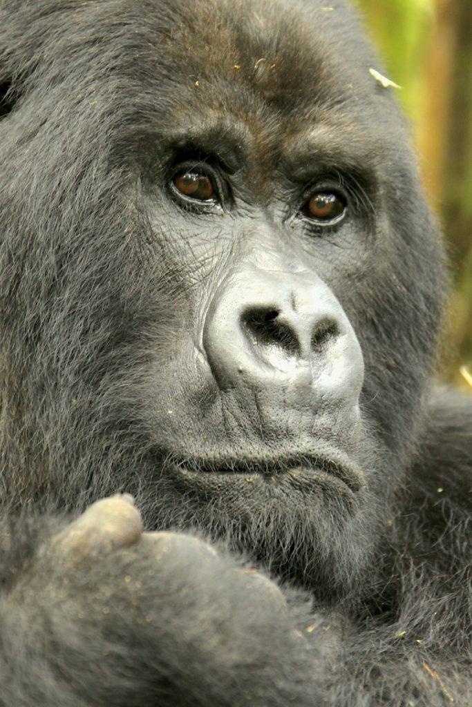 Gorilla-Headshot
