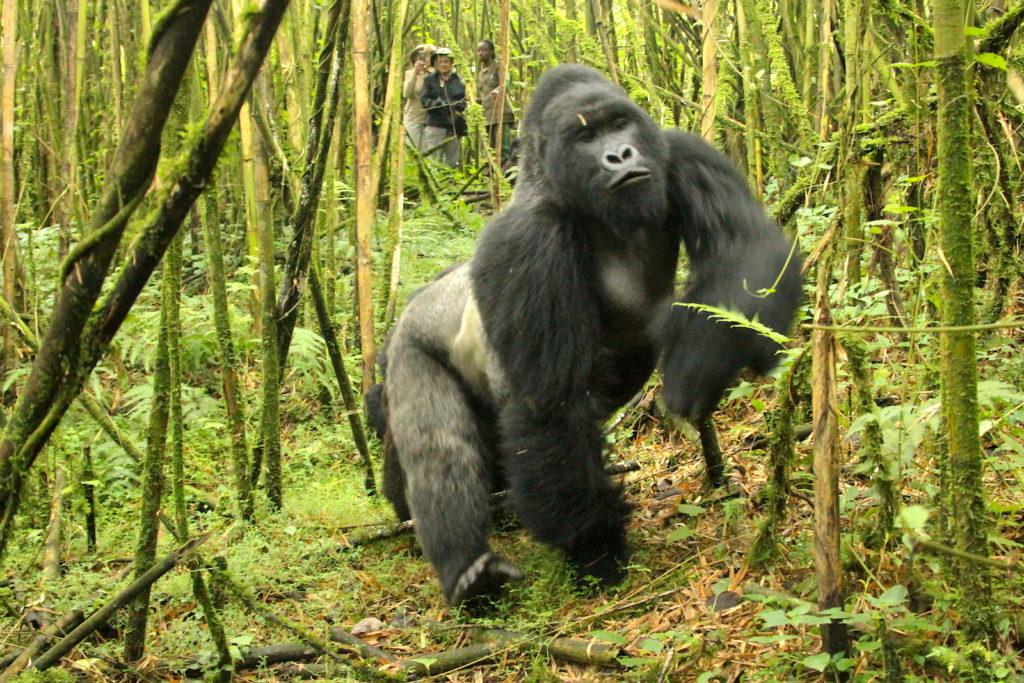 Gorilla-Walking