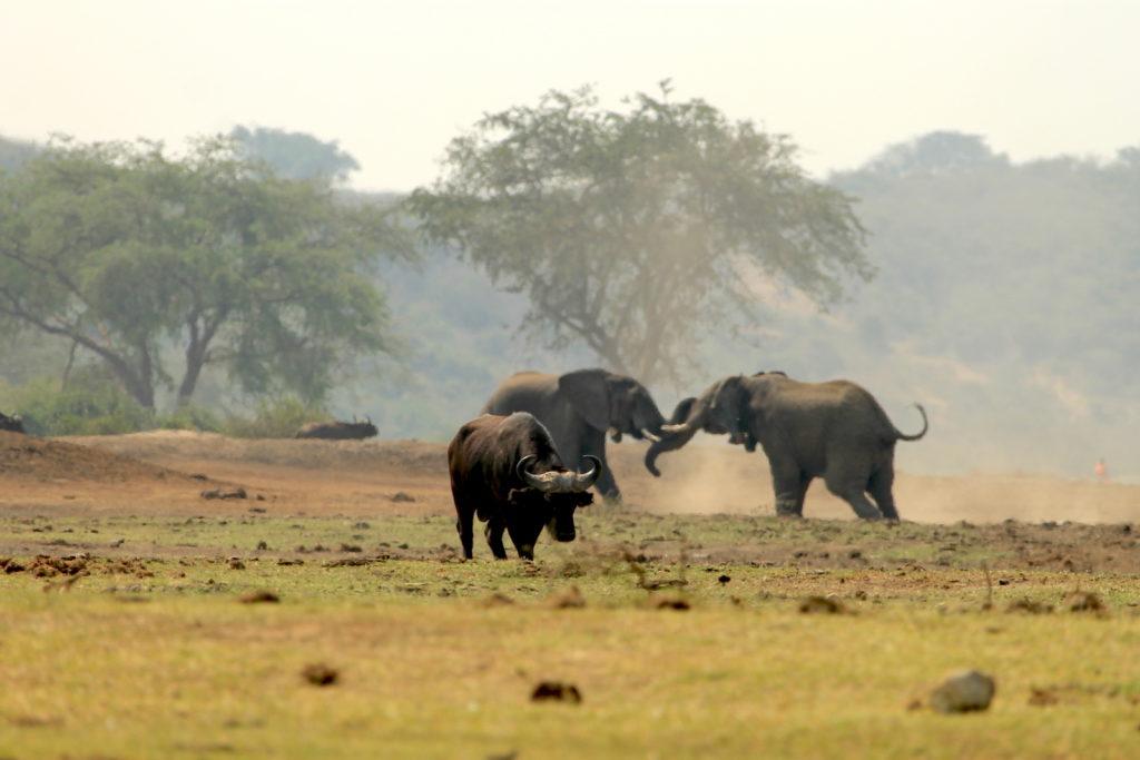 buffalo-elephants