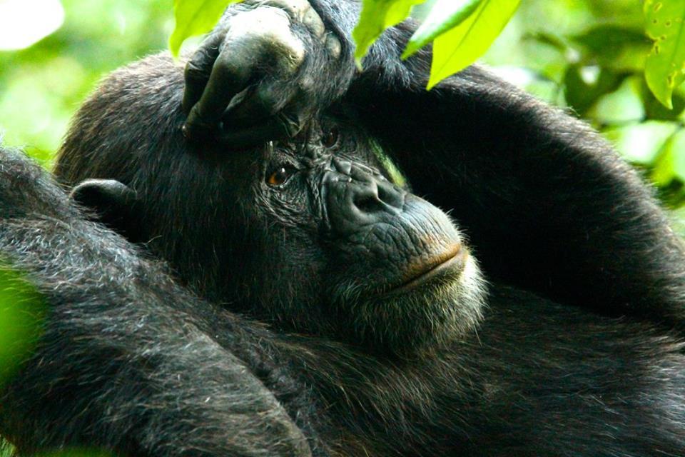 chimp 7