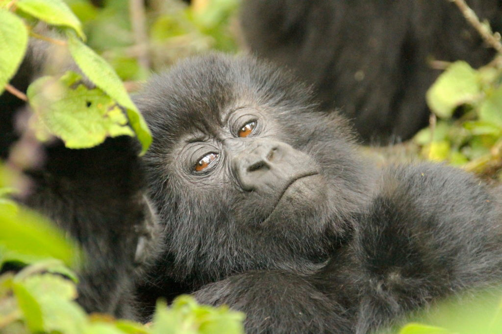 gorilla-side-eye