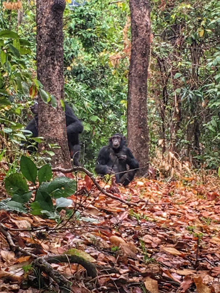 Chimp Trek