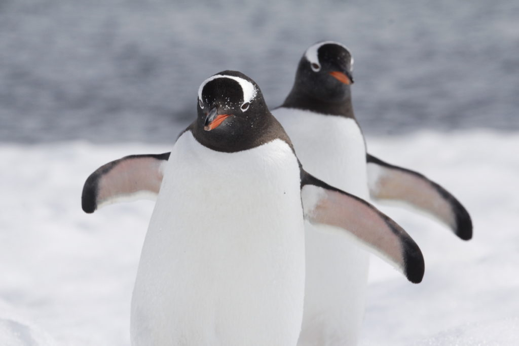 Kayla Torgerson - Gentoo penguins in Antarctica