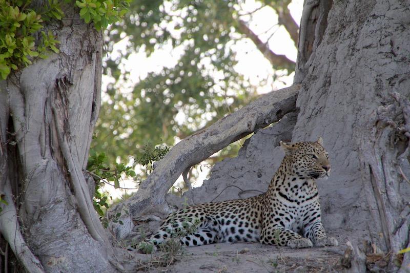 leopard tubu